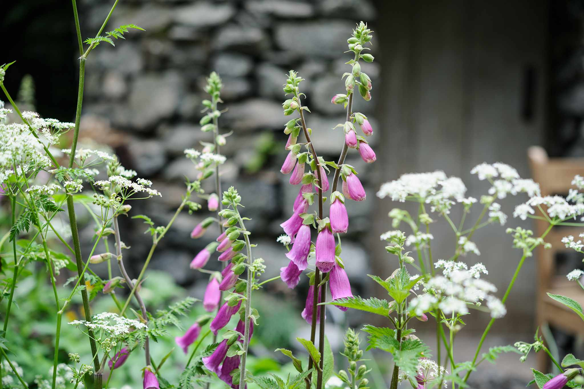 Foxgloves and cow parsley