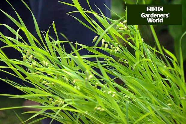 How to plant annual grasses in borders