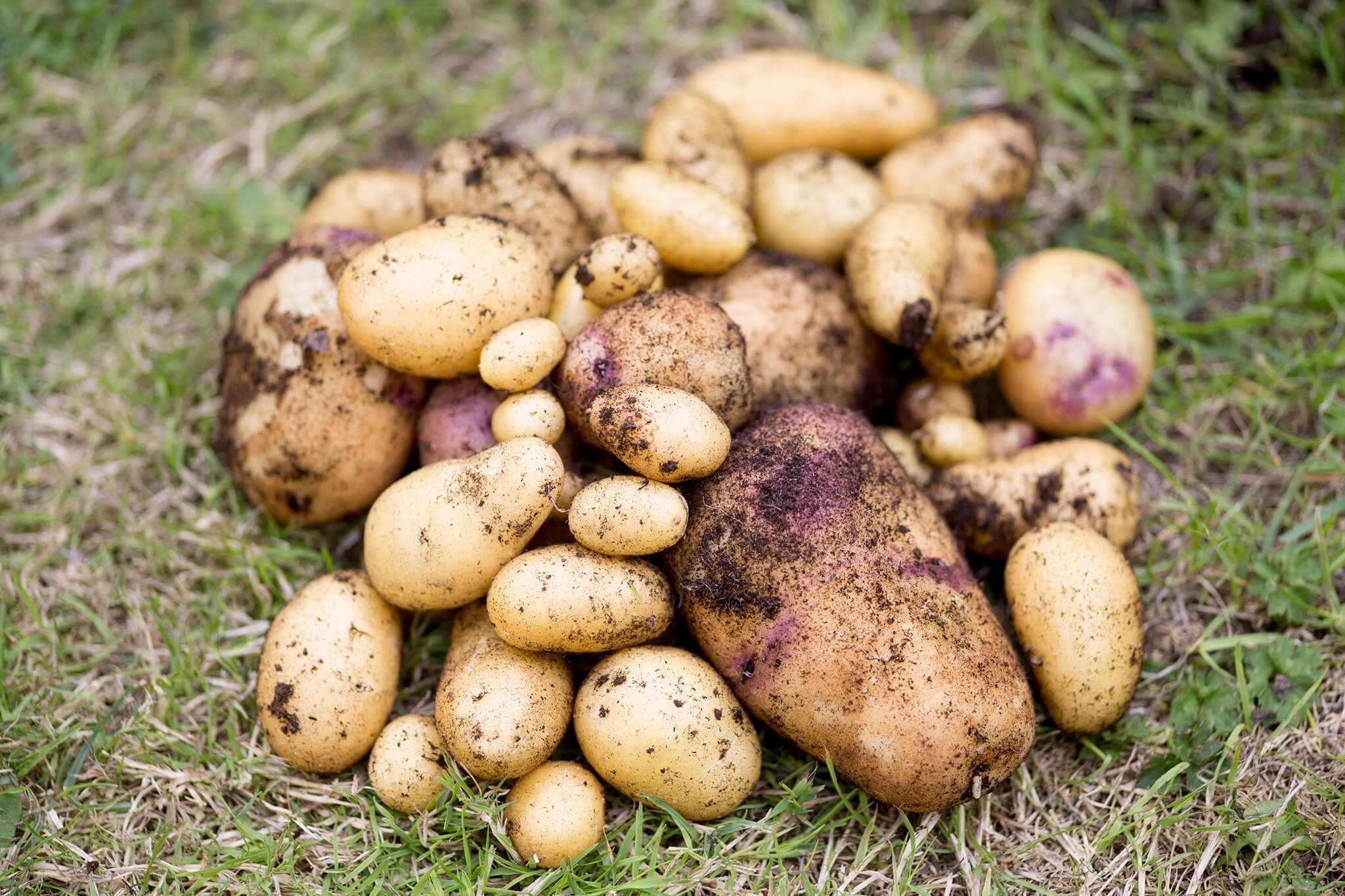 Maincrop Potatoes to Grow
