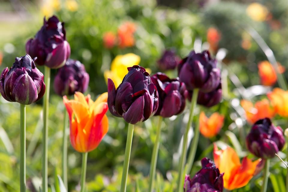 Six Tips For Planting Tulips Bbc Gardeners World Magazine