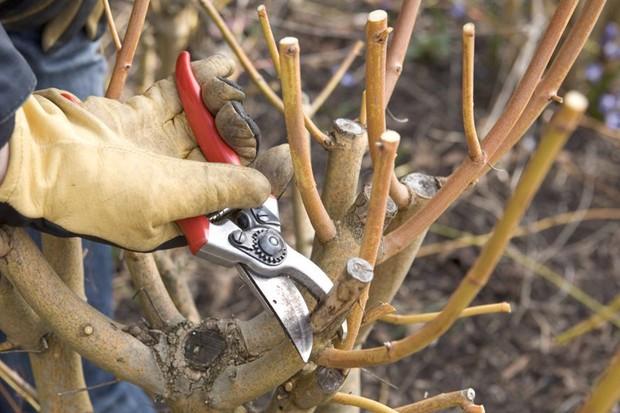 Pruning to increase vigour