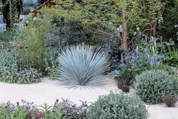 yucca-rostrata-growing-in-a-gravel-garden-2