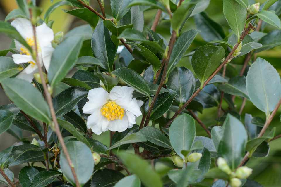 How To Plant a Camellia in a Pot