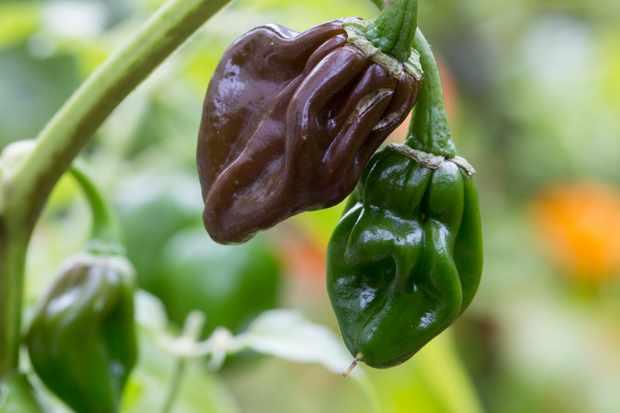 chilli-chocolate-habanero-2