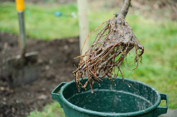 planting-a-bare-root-fruit-tree-3