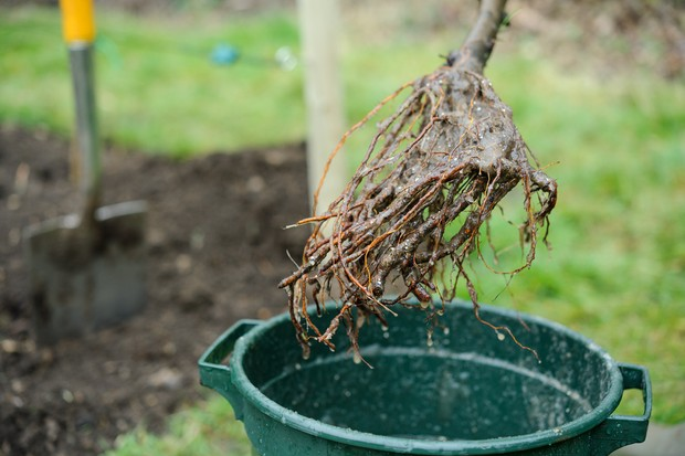Planting a bare-root fruit tree