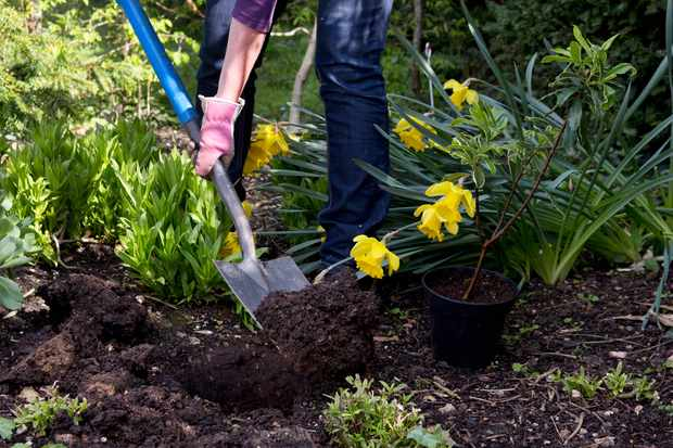 How to plant a flowering evergreen shrub
