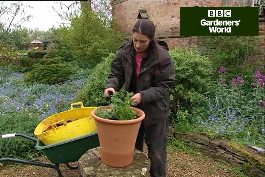 How to grow mint in a pot video