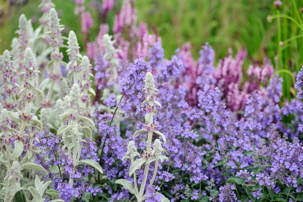 stachys-and-catmint-2