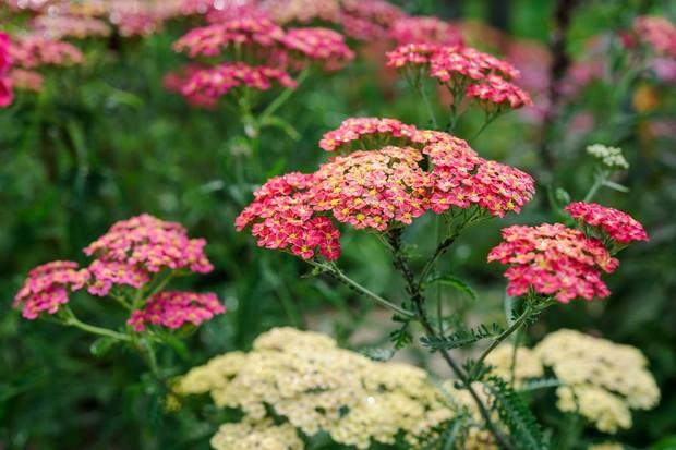 Pink and cream achillea flowerheads