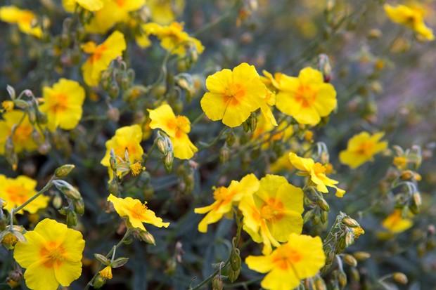 Yellow helianthemum flowers