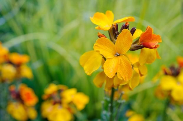 Golden wallflowers