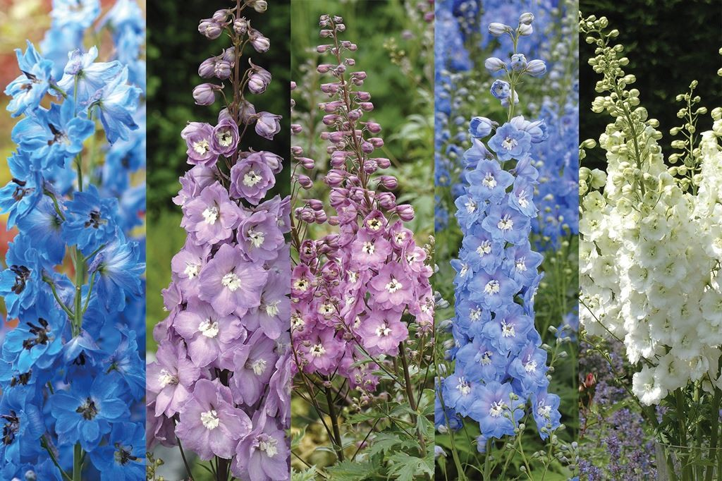 Delphiniums offer from Woolmans