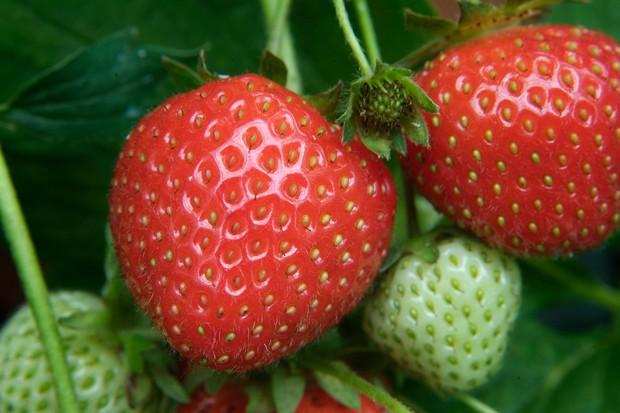 Early season Strawberry 'Christine'