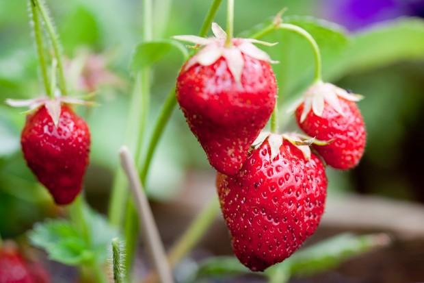 Alpine strawberry 'Mara des Bois'