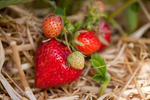 Strawberry 'Royal Sovereign'