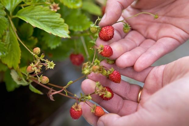 Alpine strawberry Strawberry 'Alexandria'