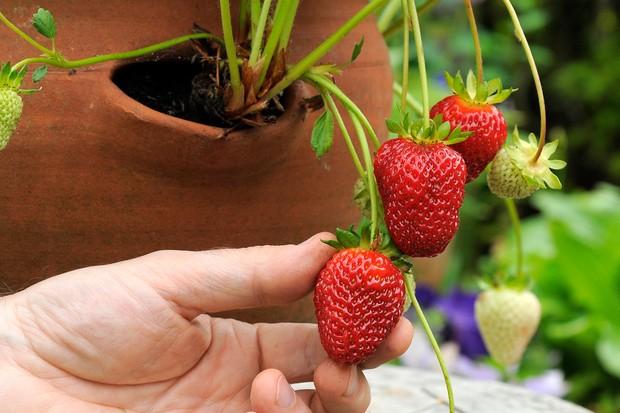 Perpetual everbearing Strawberry 'Buddy'