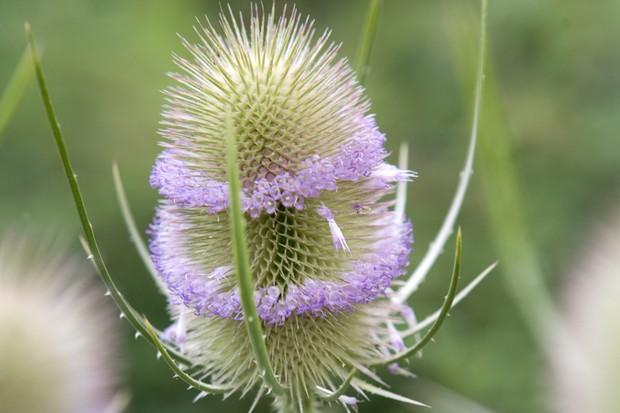 Teasel (Dipsacus fullonum) in flower