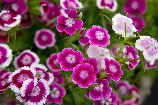 Dianthus barbatus 'Sweet'
