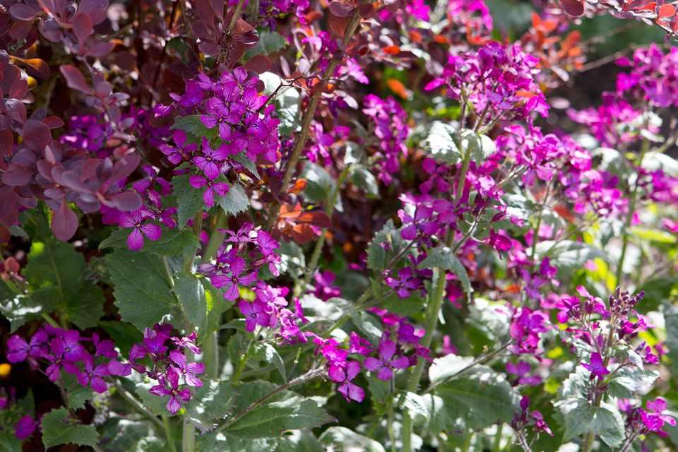 Berberis thunbergii and Lunaria annua Honesty