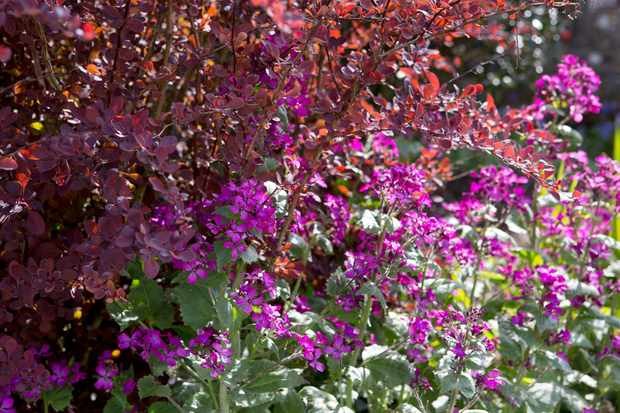 Berberis thunbergii and Lunaria annua Honesty