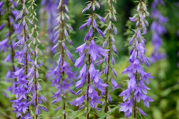 Campanula pyramidalis in flower