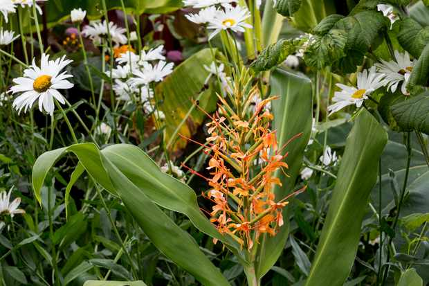 Hedychium 'Assam Orange'