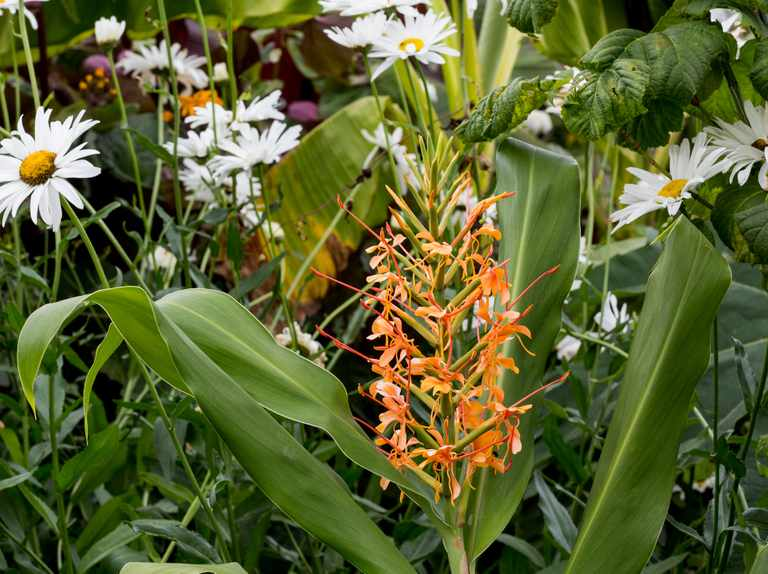 Cannas and hedychiums to grow