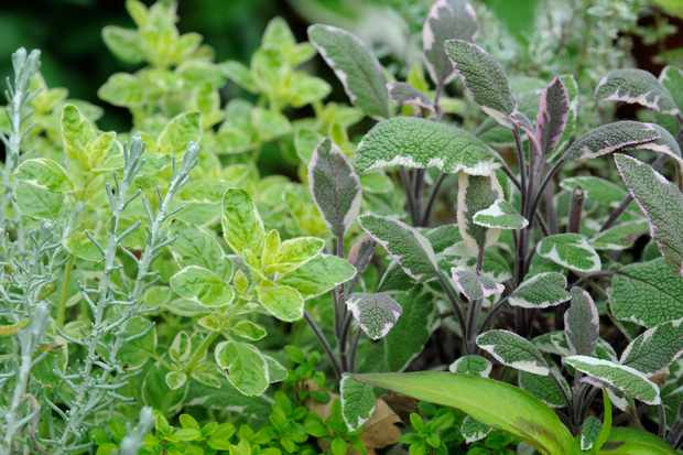 Evergreen herbs