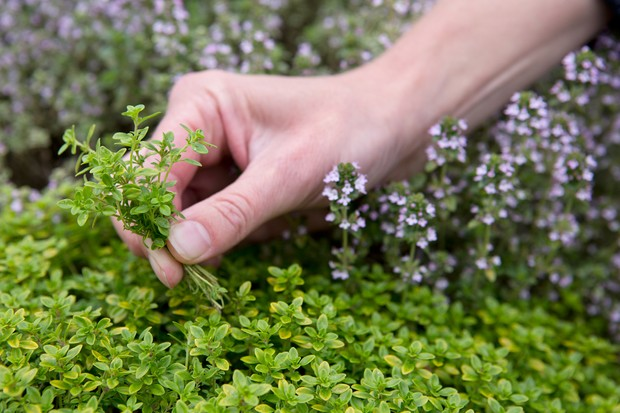 Picking leaves of herb Thyme thymus officinalis