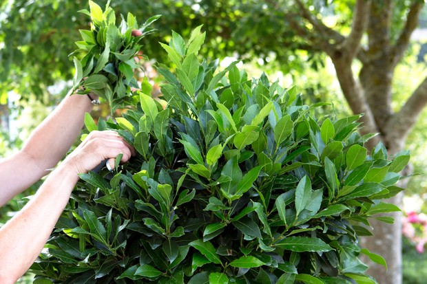 Pruning a bay tree