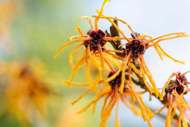 Witchazel flowers