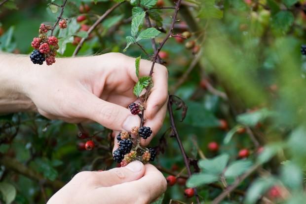Harvesting picking blackberries (Rubus fruticosus)