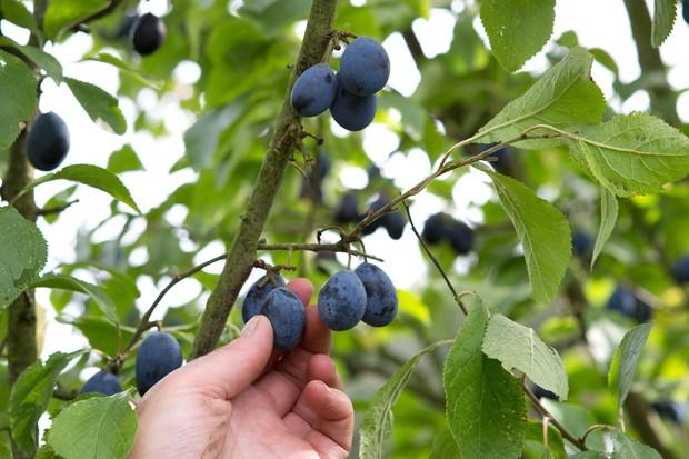 Picking harvesting damson fruits