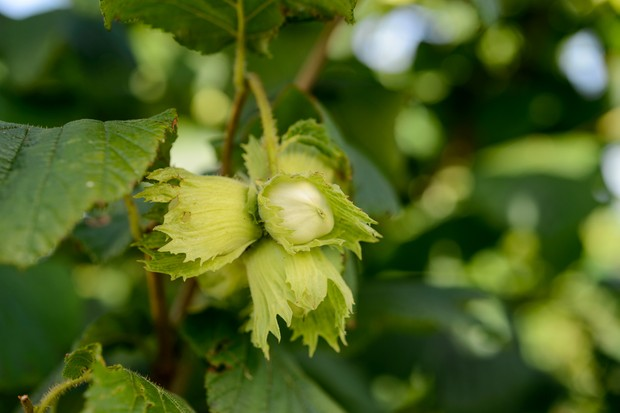 Hazelnuts or filberts (Corylus avellana)