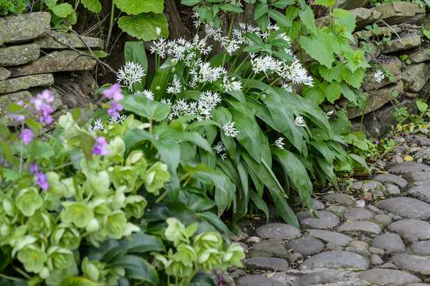 Wild garlic (Allium ursinum) growing in a garden