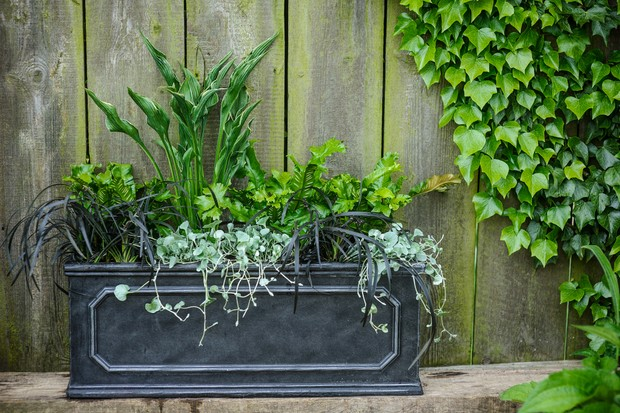 Container with Hosta 'Praying Hands' and Asplenium scolopendrium 'Cristatum Group' and Ophiopogon planiscapus 'Nigrescens' and Dichondra 'Silver Falls'