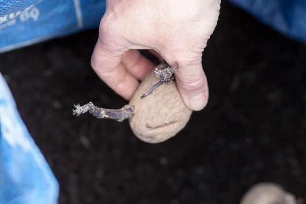 Planting potatoes in sacks