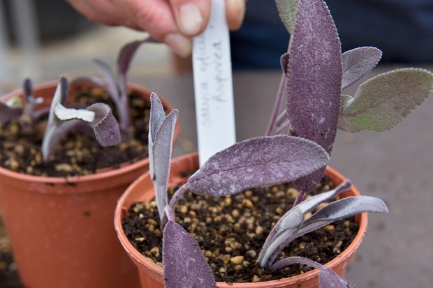 Taking sage cuttings