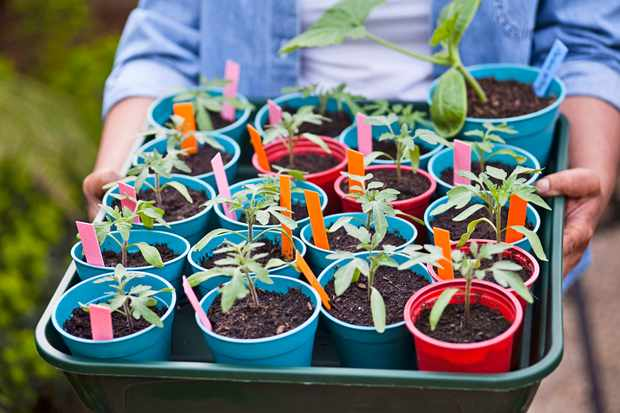 Tomato seedlings in biodegradable plant pots