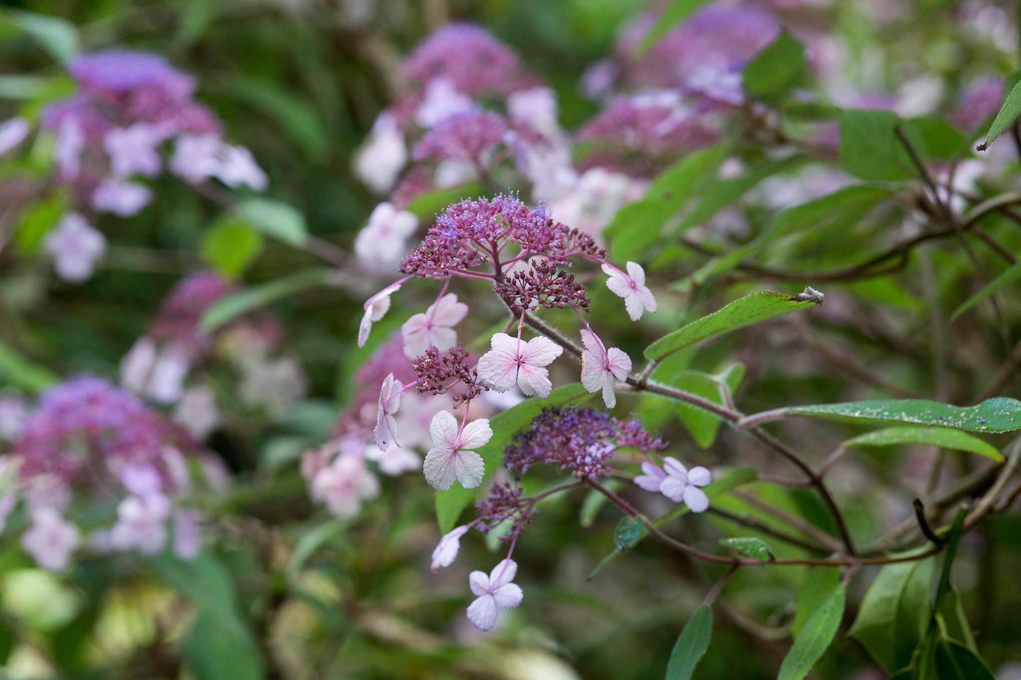 Lacecap Hydrangea aspera