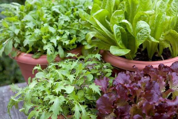 Monty's favourite salad leaves