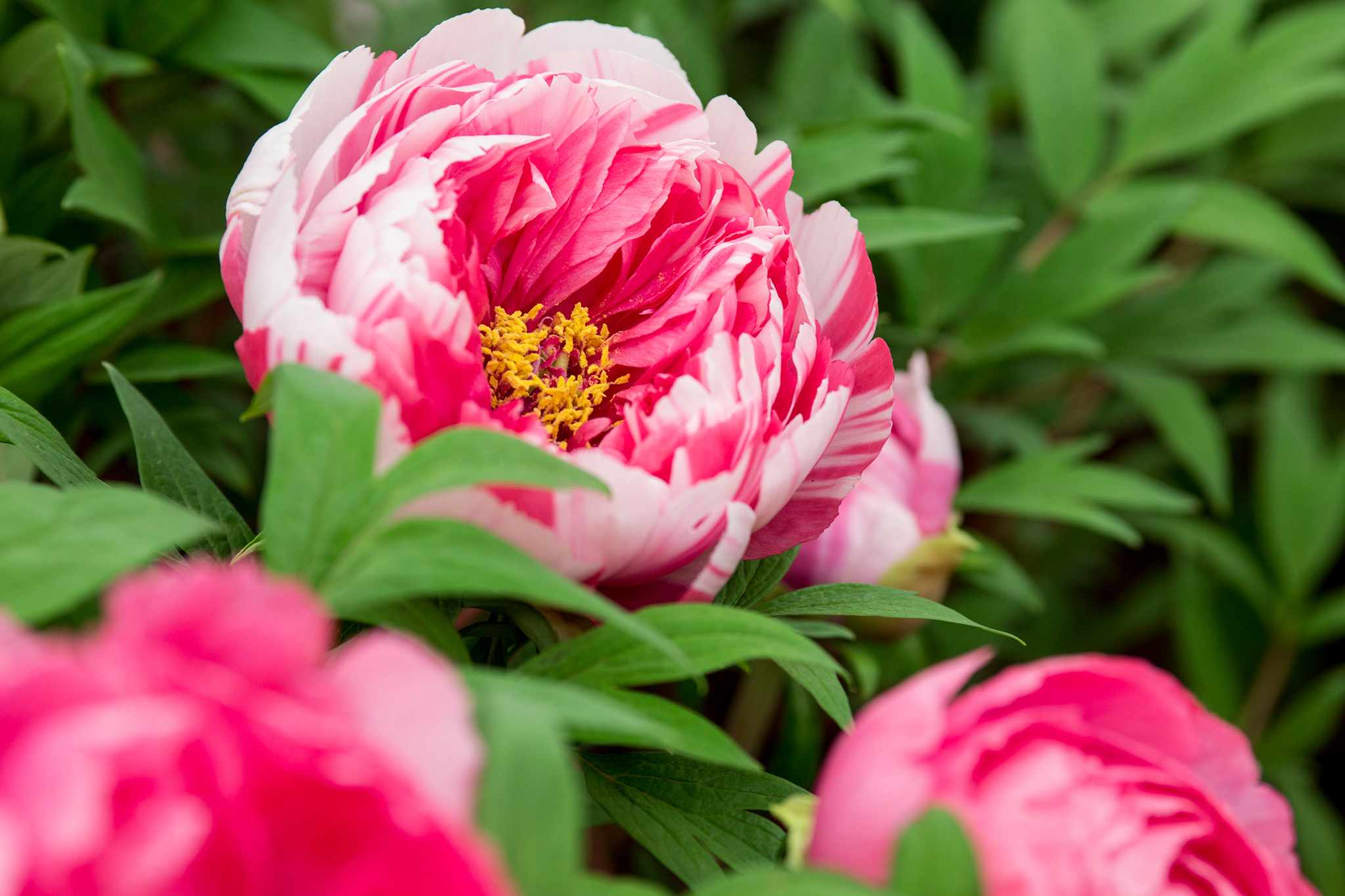 Japanese tree Peony Shimane Nishiki deciduous shrub red and white striped large semi double blooms wide variation in colour on one plant paeonia Kelways peonies 180515 18052015 18/05/15 18/05/2015 18 18th May 2015 early Summer RHS Chelsea Flower Show 2015 photographer Paul Debois Plant portraits closeups from Floral Marquee /m/loader/final_group_loader/Paul Debois Chelsea 18 May 2015 plant portraits/Images/