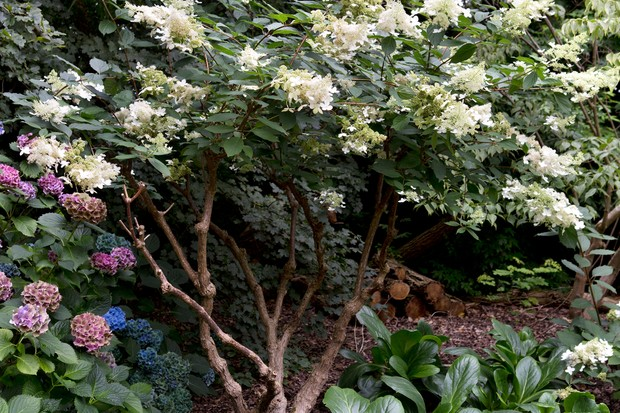 Hydrangea paniculata 'Green Spire' pruned as multi stem