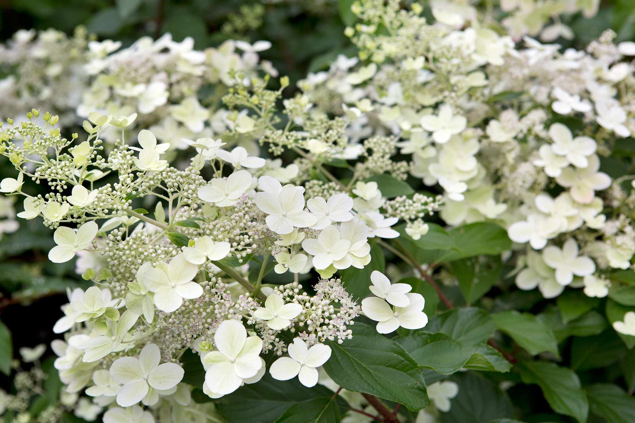 Hydrangea paniculata Savill Lace white flowers blooms late summer flowering deciduous shrub flowers good for drying  03/09/15 03/09/2015 030915 03092015 3 3rd September late Summer early Autumn The Savill Garden photographer Sarah Cuttle plant portraits