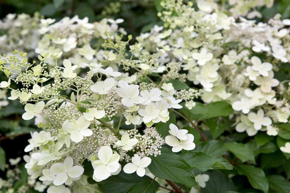 Panicle hydrangeas to grow
