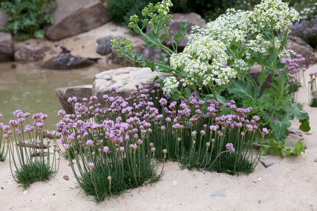 Sea kale growing with thrift