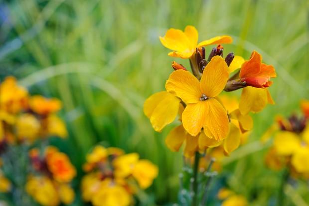 Wallflower, Erysimum cheiri flowers