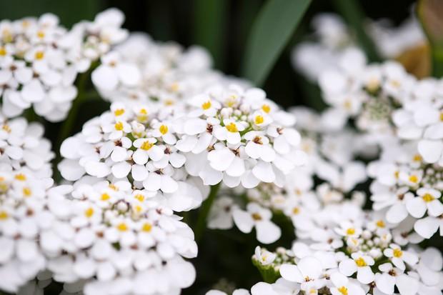 White-flowering candytuft flowers